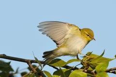 Крыла flapping деревянной певчей птицы на ветви тополя стоковые изображения rf