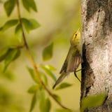 Крыла flapping деревянной певчей птицы на ветви тополя стоковая фотография rf