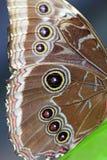 Крыло бабочки сыча Стоковые Фотографии RF
