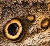 Крыло бабочки сыча Стоковое Изображение RF