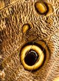 Крыло бабочки сыча Стоковые Фото
