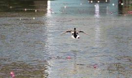 Кряква в полете над прудом стоковые фото