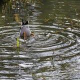 Кряква - дикая утка играя прятк в озере восьмиугольник - Stowe, Buckinghamshire, Великобритания стоковое фото rf