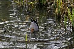 Кряква - дикая утка играя прятк в озере восьмиугольник - Stowe, Buckinghamshire, Великобритания стоковые фотографии rf