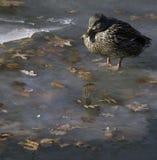 Кряква на льде Стоковые Фотографии RF