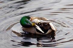 Кряква прихорашиваясь свой сказ оперяется пока плавающ в пруд Стоковое фото RF