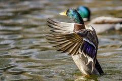 Кряква протягивая его крыла Стоковое Изображение