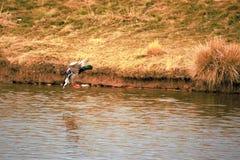Кряква Drake в посадке полета на пруде Стоковая Фотография RF