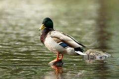 Кряква Drake дикой утки Стоковое Фото