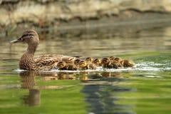 Кряква ducks семья Стоковая Фотография