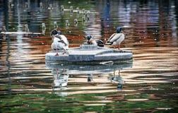 Кряква ducks - platyrhynchos Anas - отдыхать на островке в Стоковое Изображение RF