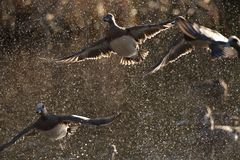 Кряква ducks platyrhynchos Anas принимая в брызг wate Стоковые Изображения RF