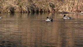 Кряквы плавая на озере акции видеоматериалы