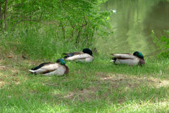 3 кряквы дремая около озера в лете Стоковое фото RF