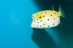 Кубик, желтый цвет, Boxfish многоточий польки стоковая фотография