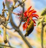 Кубинец Oriolе подавая на красных цветках стоковые изображения