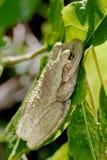 кубинский вал лягушки Стоковые Фотографии RF