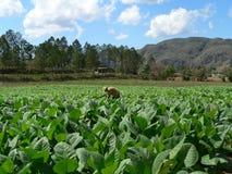 кубинский табак поля Стоковая Фотография RF