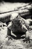 Кубинськая игуана утеса - Cyclura брачное, бесцветный Стоковые Фотографии RF