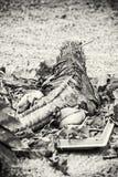 Кубинськая игуана утеса - Cyclura брачное, бесцветный Стоковое Изображение RF
