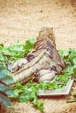 Кубинськая игуана утеса - Cyclura брачное, сцена ящерицы, вид сзади Стоковое Изображение RF