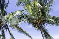 Кубинськая королевская ладонь в Полуострове de Zapata Стоковое Изображение RF