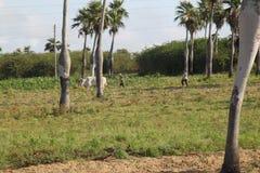 Кубинськая королевская ладонь Стоковое Изображение RF
