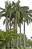 Кубинськая королевская пальма Стоковые Фото