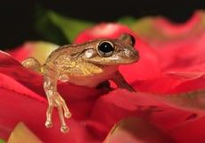 Кубинськая древесная лягушка на красном Bromeliad Стоковое Изображение