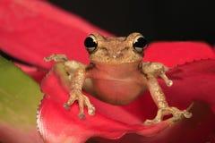 Кубинськая древесная лягушка садить на насест на Bromeliad Стоковое Изображение
