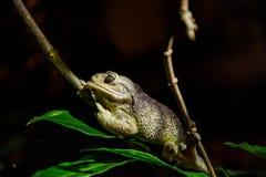 Кубинськая древесная лягушка (septentrionalis Osteopilus) Стоковые Изображения RF