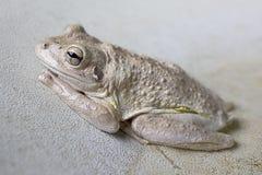 Кубинськая древесная лягушка & x28; Septentrionalis& x29 Osteopilus; Стоковые Фотографии RF
