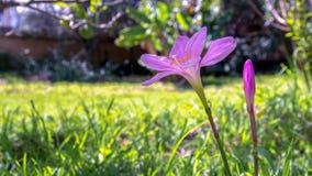 Кубинськая zephyr лилия и бутон стоковые изображения rf