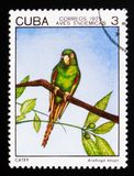 Кубинськие euops Aratinga длиннохвостого попугая, индигенное serie птиц, около 1975 Стоковые Изображения RF