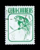 Кубинськие euops Aratinga длиннохвостого попугая, serie животных, около 1981 Стоковое Изображение