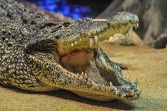 Кубинський крокодил, rhombifer крокодила Стоковые Изображения