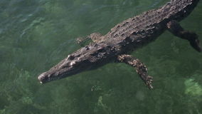 Кубинський крокодил соленой воды акции видеоматериалы