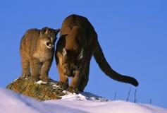кугуар cub она как hunt учя к Стоковые Изображения RF