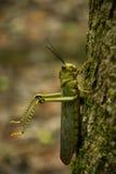 Кузнечики в Tikal Стоковые Фотографии RF