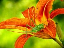 Кузнечик в лилии Стоковые Фотографии RF