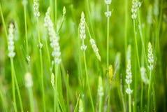 Кузнечик в поле лаванды Стоковые Фото