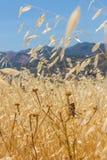 Кузнечик в поле овса стоковые фотографии rf