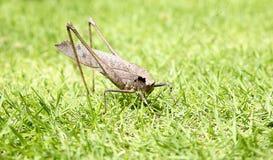 Кузнечик в предпосылке макроса травы Стоковые Изображения RF