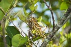 Кузнечик есть листья Стоковое Фото