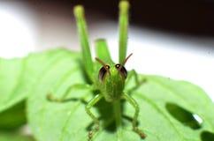 Кузнечик лист, салатовый, с черноватыми коричневыми глазами стоковые фото