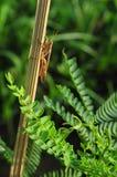 Кузнечик на бамбуке Стоковые Изображения