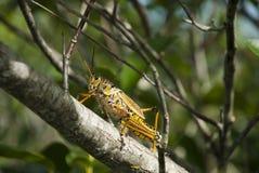 Кузнечик на ветви Стоковое Фото