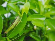 Кузнечик на зеленых листьях Стоковое фото RF