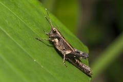 Кузнечик на листьях Стоковая Фотография