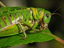 Кузнечик на листьях Стоковые Изображения RF